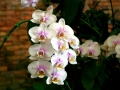 orchid-216534_640
