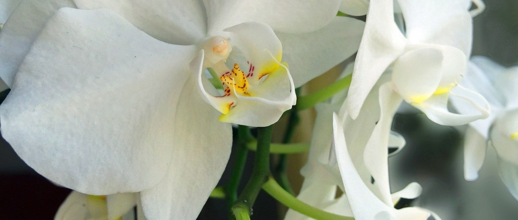 orchid-958142_1280
