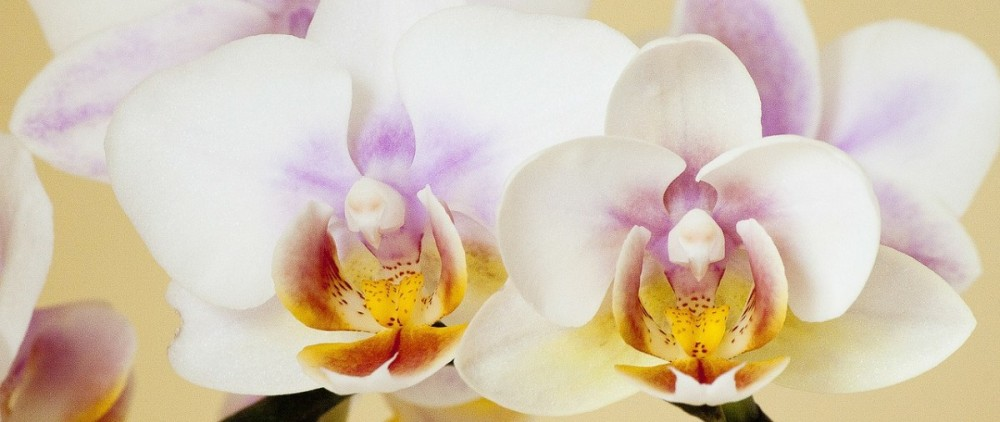 orchid-186453_1280