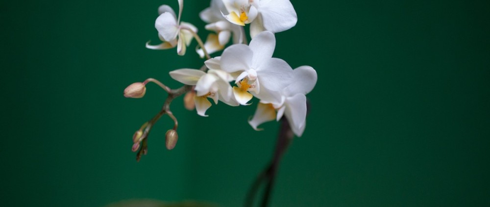 orchid-383068_1920
