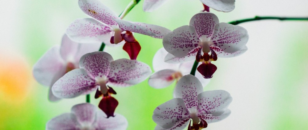 orchid-932163_1920(1)