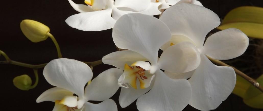 orquidea-188633_1920