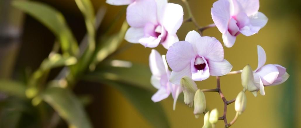 orquidea-952831_1920