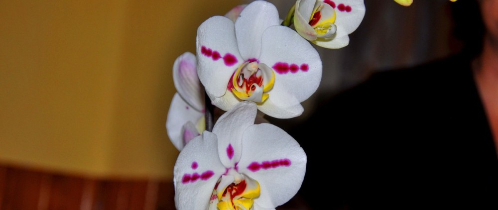 orchid-684916_1920
