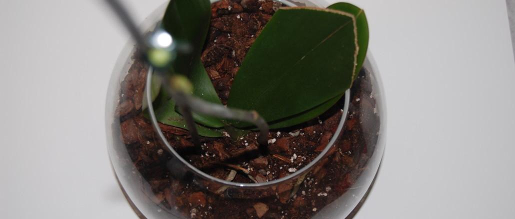 Podlewanie storczyka w szkle