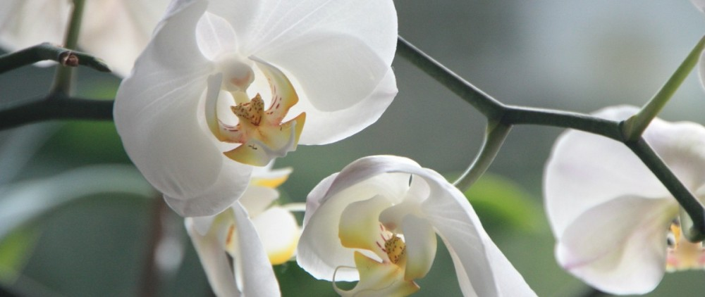 orchid-4780_1920