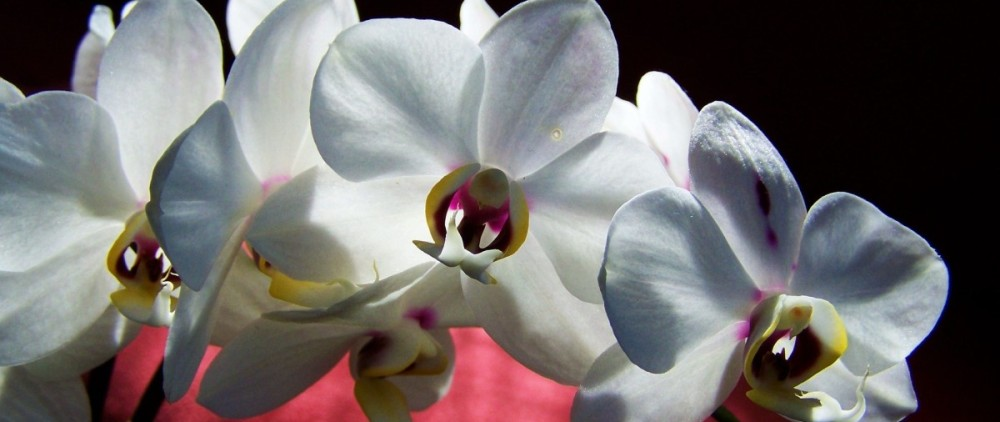 white-orchid-821262_1920