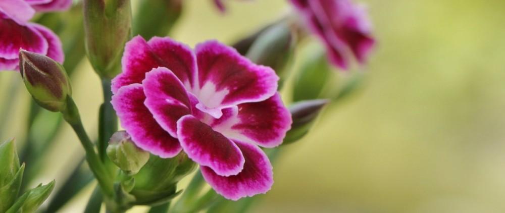 carnation-393259_1920