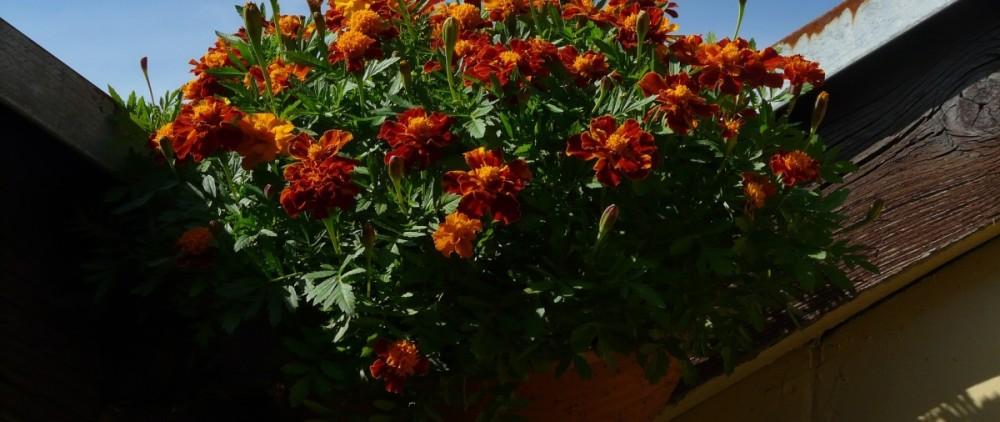 marigold-58268_1920