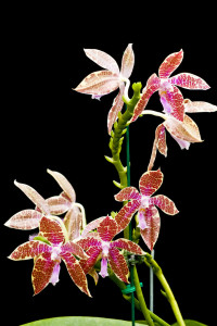 Phalaenopsis_hieroglyphica_2