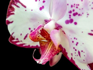 orchid-595245_1280