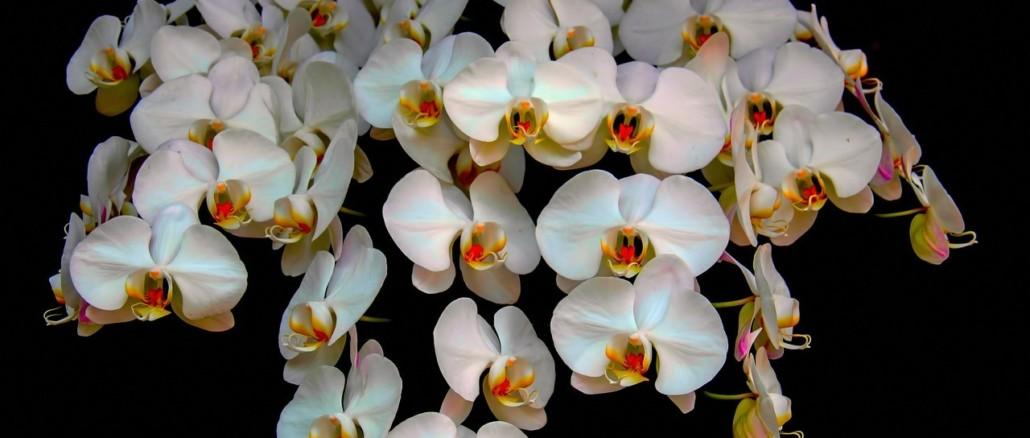 orchids-511073_1280