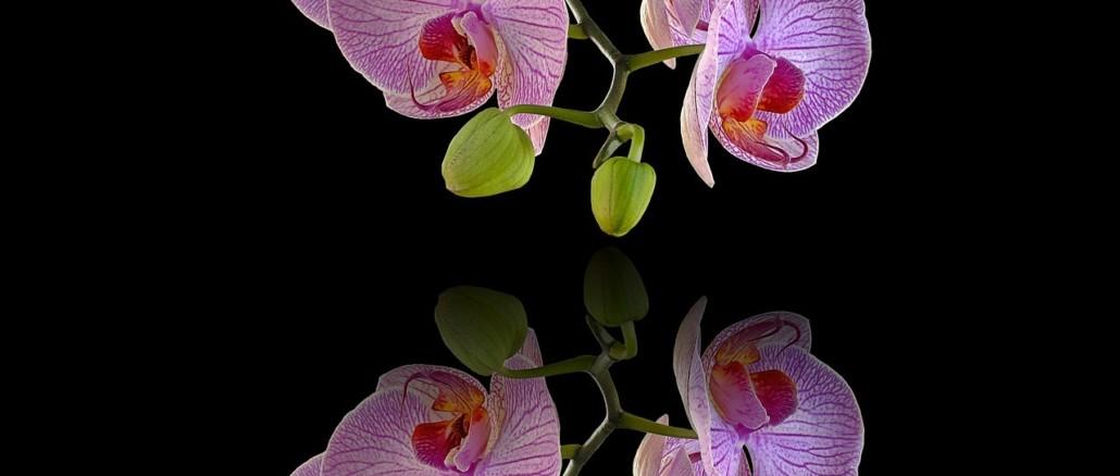 orchids-952593_1280