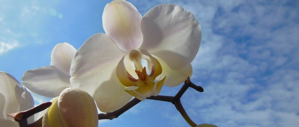 orchid-101049_1280