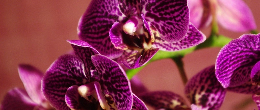 orchid-1337399_1280