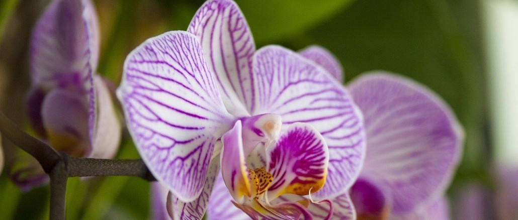 orchid-1612313_1280